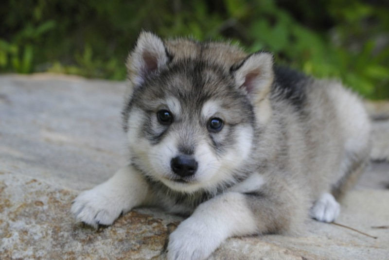 White Wolf Dog Puppies For Sale Uk